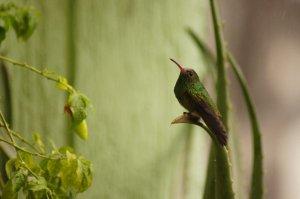 Hummingbird, Acaime