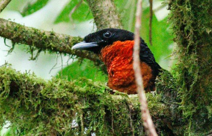 Bird, Otun Quimbaya