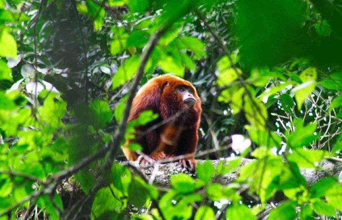 Monkey, Otun Quimbaya