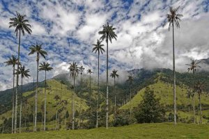 Wax Palms, Cocora Valley