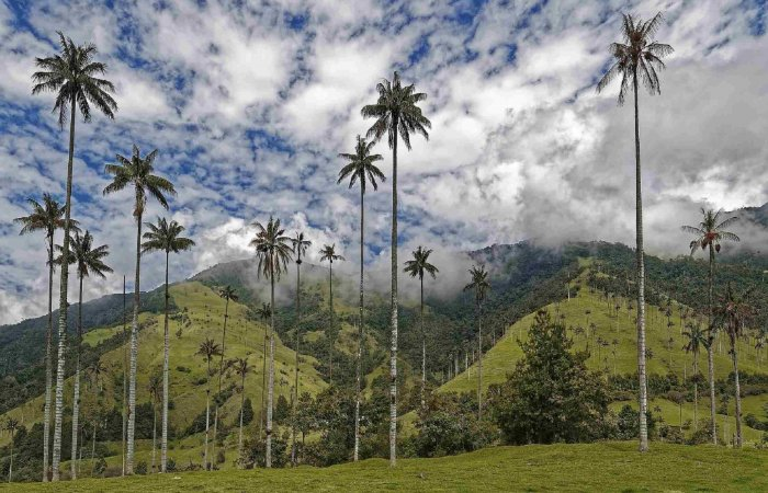 Wax Palms, Cocora Valley