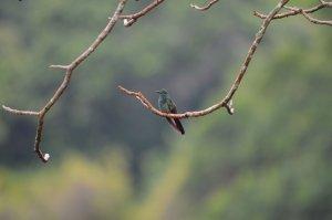 Hummingbird, Minca