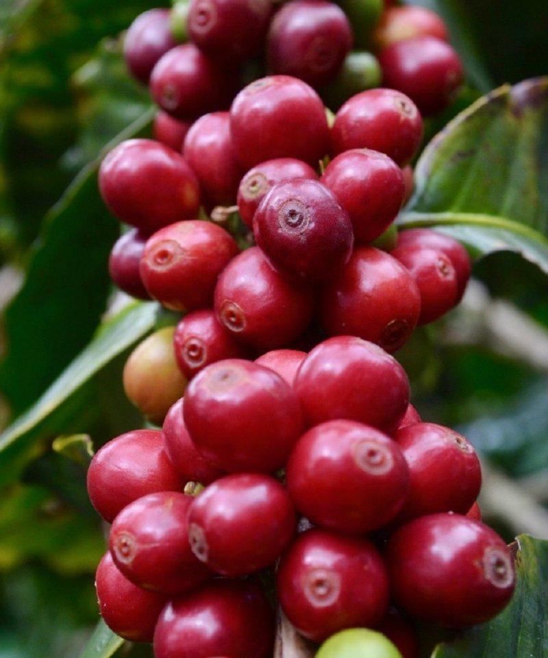 Coffe Beans, Salento