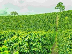 Coffee Field, Jerico