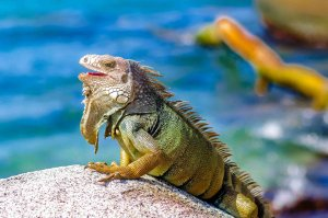 Iguana, Cabo San Juan