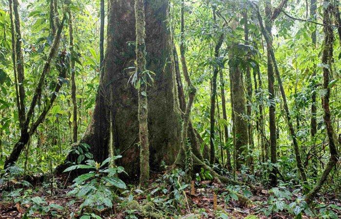 Tree, Amazonas