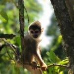 Monkey. Amazonas
