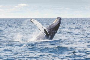 Whale Watching, Pacific Coast