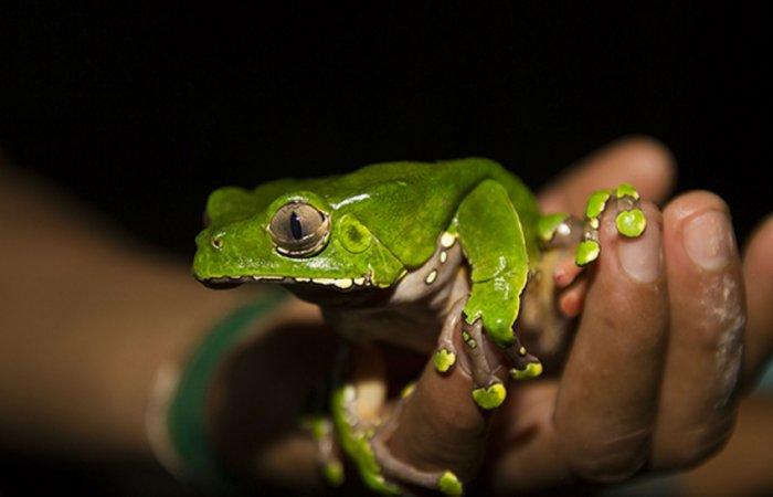 Leaffrog, Amazonas