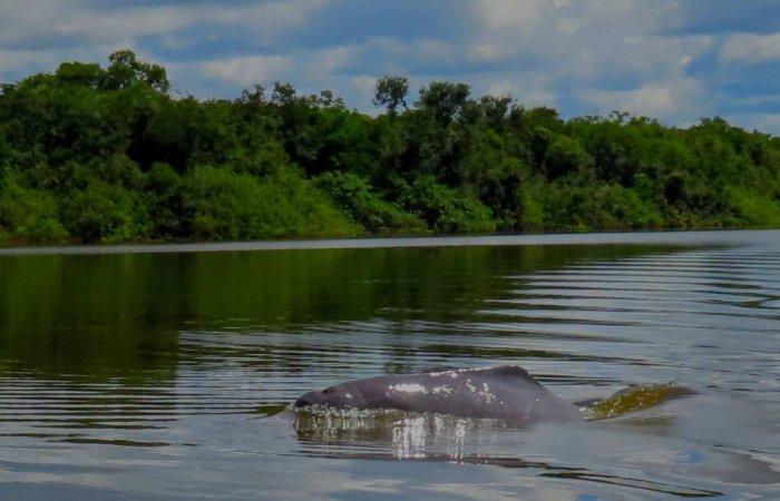 Delfin Rosado, Inia geoffrensis