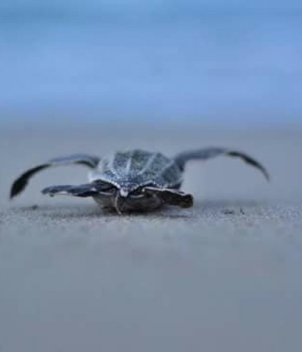 Baby turtle, Acandi