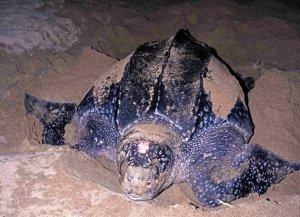 Leatherback turtle, Acandi