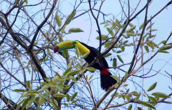 Minca, Yellow Throated Toucan in tree